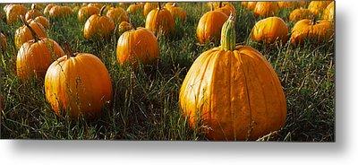 Pumpkin Field, Half Moon Bay Metal Print by Panoramic Images