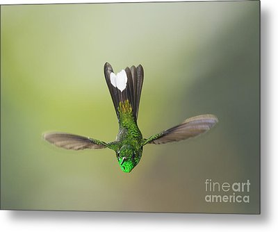 Metal Print featuring the photograph Purple-bibbed White-tip Hummingbird by Dan Suzio