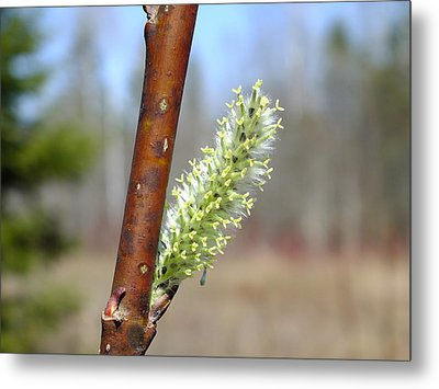 Metal Print featuring the photograph Pussy Willow by Gene Cyr