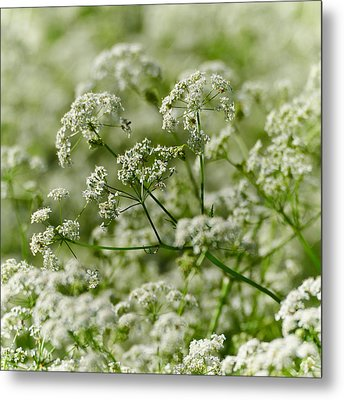 Queen Annes Lace Metal Print