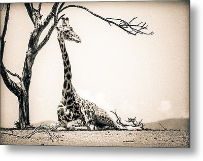 Metal Print featuring the photograph Reclining Giraffe Sepia by Mike Gaudaur