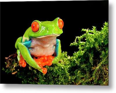 Red Eye Treefrog, Agalychnis Metal Print
