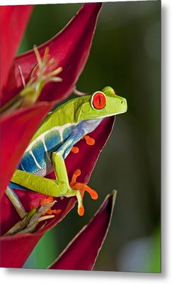 Metal Print featuring the photograph Red Eyed Tree Frog 2 by Dennis Cox WorldViews
