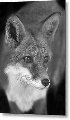 Metal Print featuring the photograph Red Fox  by Brian Cross