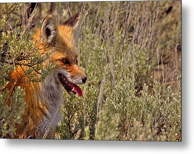Metal Print featuring the photograph Red Fox In Sage by Aaron Whittemore