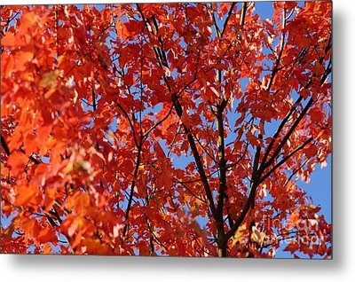 Red Leaves Of Autumn Metal Print by David Birchall