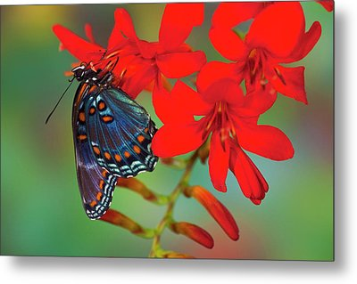 Red-spotted Purple Butterfly, Limenitis Metal Print by Darrell Gulin