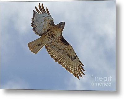 Red-tail Hawk #3094 Metal Print by J L Woody Wooden