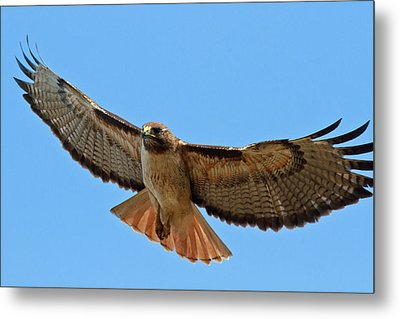 Red-tailed Hawk  Metal Print by Carl Jackson