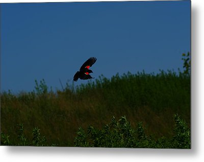 Red Winged Blackbird Metal Print by Andrew Lahay