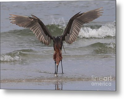 Reddish Egret Fishing Metal Print