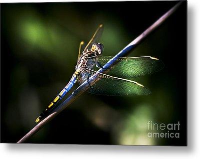 Resting Dragonfly Metal Print