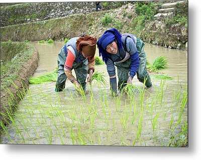 Rice Cultivation In Yunnan Province Metal Print by Tony Camacho