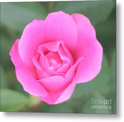 Rose. Metal Print by Sylvia  Niklasson