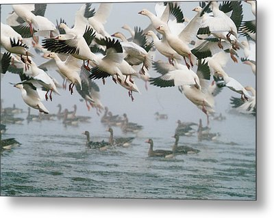 Ross's Goose Metal Print by Doug Herr