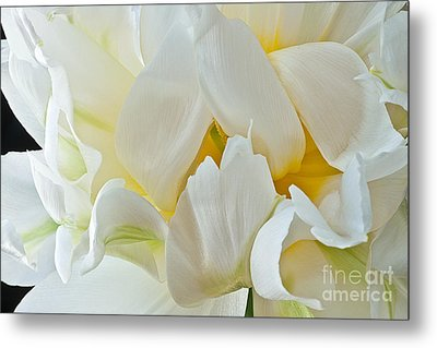 Metal Print featuring the photograph Ruffled White Tulip by Art Barker