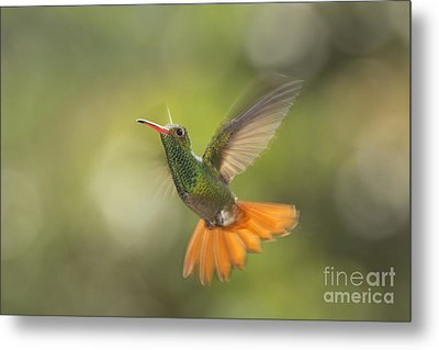 Metal Print featuring the photograph Rufous-tailed Hummingbird by Dan Suzio