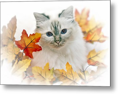 Sacred Cat Of Burma Metal Print by Melanie Viola