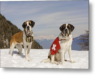Saint Bernards Metal Print by Jean-Michel Labat