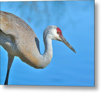 Metal Print featuring the photograph Sandhill Crane by Kathy King