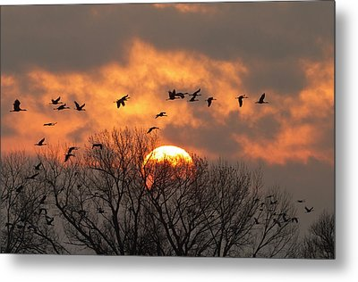 Sandhill Cranes (grus Canadensis Metal Print by William Sutton