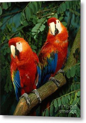 Scarlet Macaw Metal Print by Hans Reinhard
