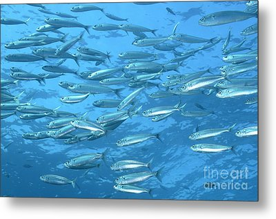 School Of Bogue Fishes Metal Print