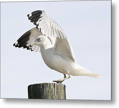 Sea Gull Metal Print by Paulette Thomas
