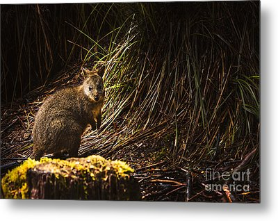 Small Marsupial Pademelon In Thick Tasmania Forest Metal Print by Jorgo Photography - Wall Art Gallery