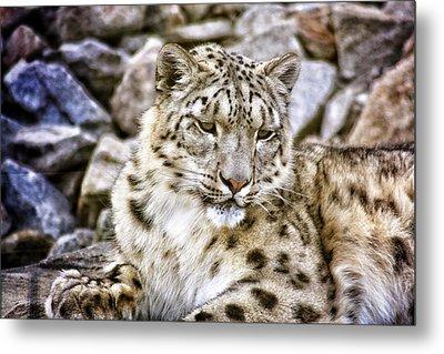 Snow Leopard Metal Print by Daniel Precht