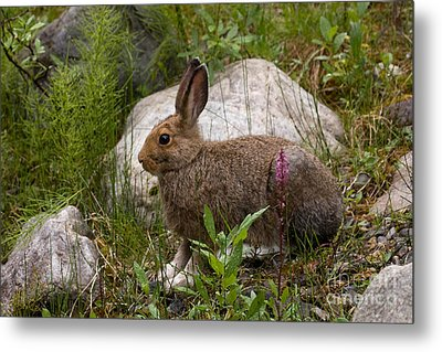 Metal Print featuring the photograph Snowshoe Hare by Chris Scroggins
