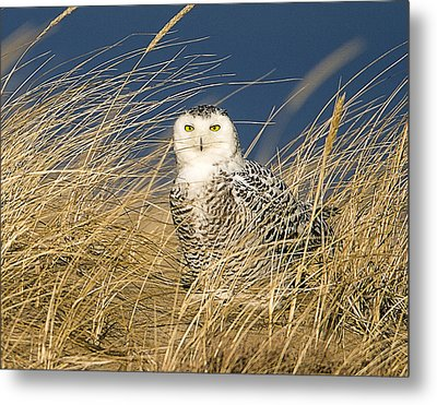 Snowy Owl In The Dunes Metal Print