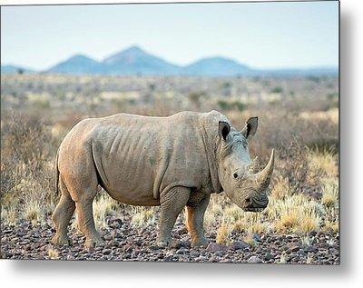 Southern White Rhinoceros Metal Print by Tony Camacho