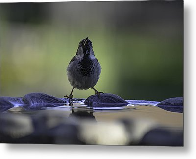 sparrow-BB-drip Metal Print