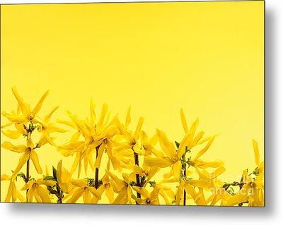 Spring Yellow Forsythia  Metal Print by Elena Elisseeva