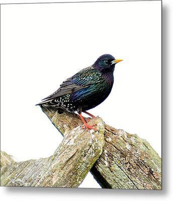 Starling Metal Print by Tommytechno Sweden