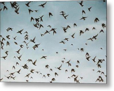 Starlings Metal Print by Thomas Darnell