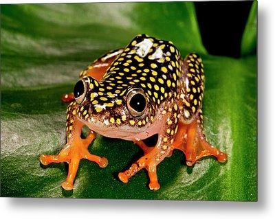 Starry Night Reed Frog, Heterixalus Metal Print