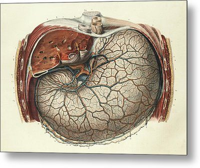 Stomach And Liver Metal Print by Science Photo Library