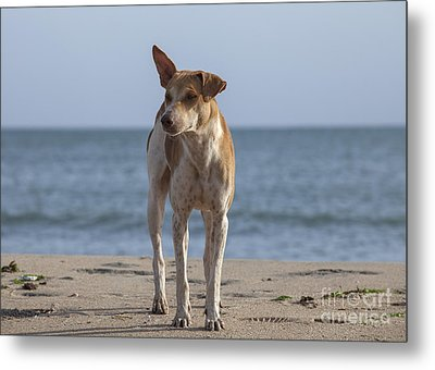 Stray Dog On The Beach Metal Print by Patricia Hofmeester