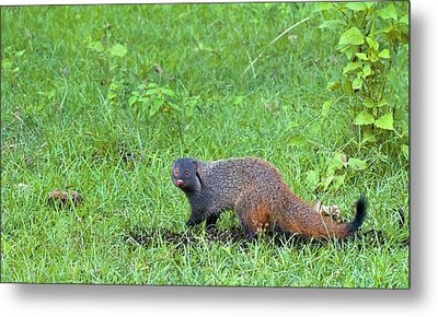 Stripe-necked Mongoose Metal Print by K Jayaram