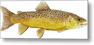 Study Of A Brown Trout Metal Print by Thom Glace