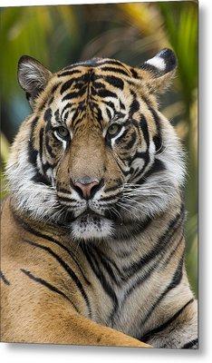 Sumatran Tiger Metal Print by San Diego Zoo