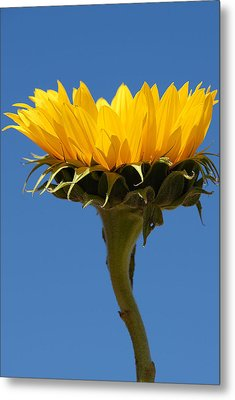 Metal Print featuring the photograph Sunflower And Sky by Susan D Moody