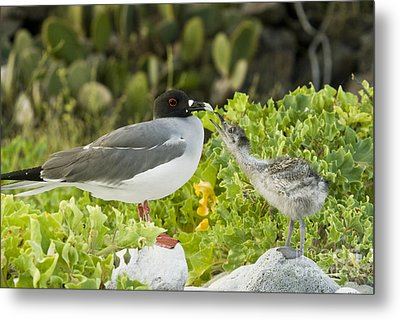 Swallow-tailed Gull Chick And Adult Metal Print by William H. Mullins