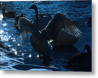 Swan Spreads Its Wings Metal Print by Tommytechno Sweden