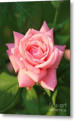 Sweet Pink Rose Metal Print by Carol Groenen