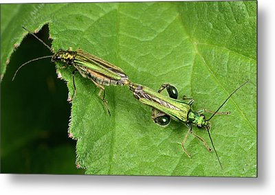 Swollen-thighed Beetles Metal Print