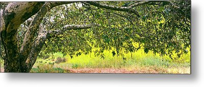 Sycamore Tree In Mustard Field Metal Print