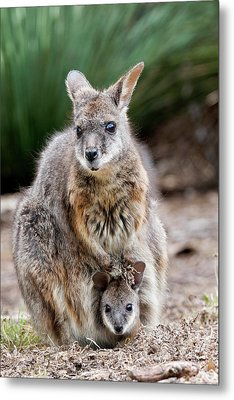 Tammar Wallaby (macropus Eugenii Metal Print
